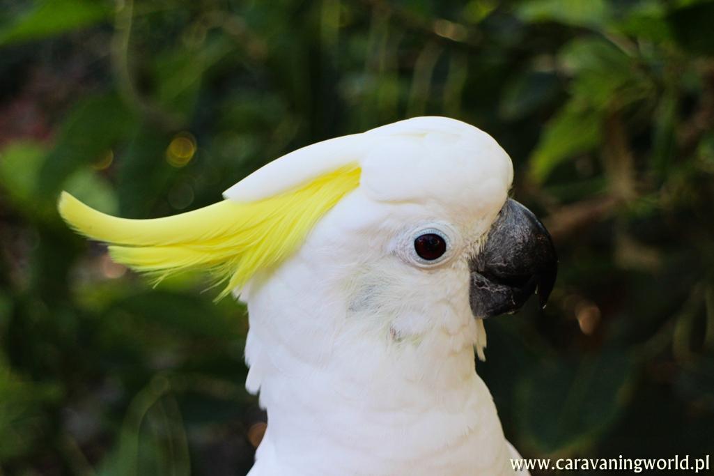 Biała Kakadu
