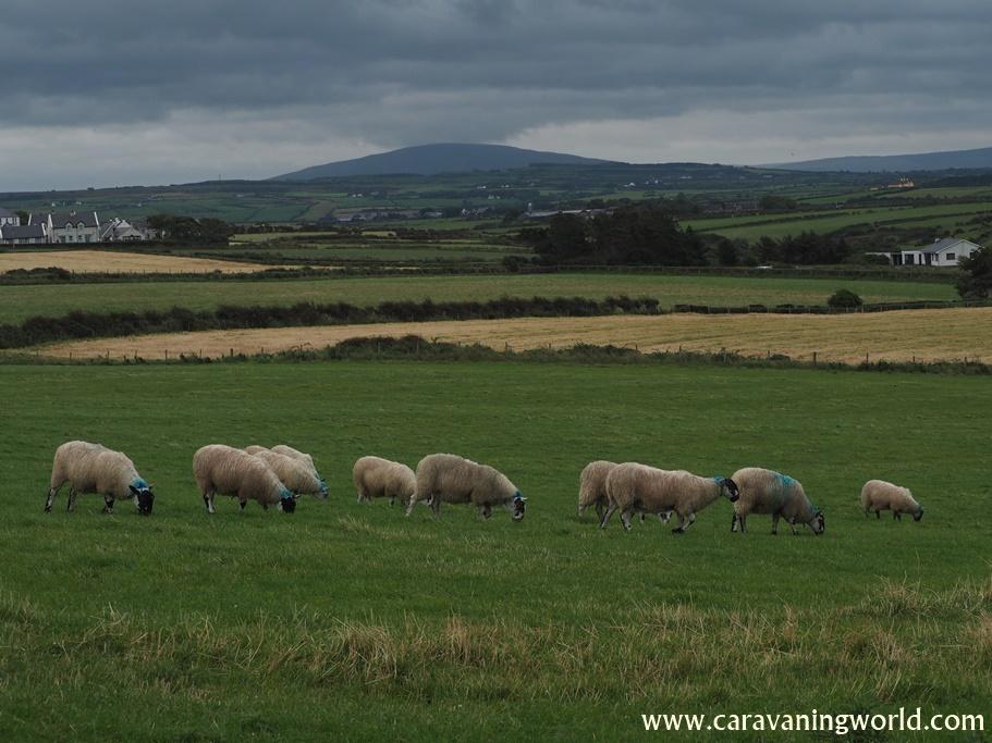Owce na łąkach to również bardzo częsty widok