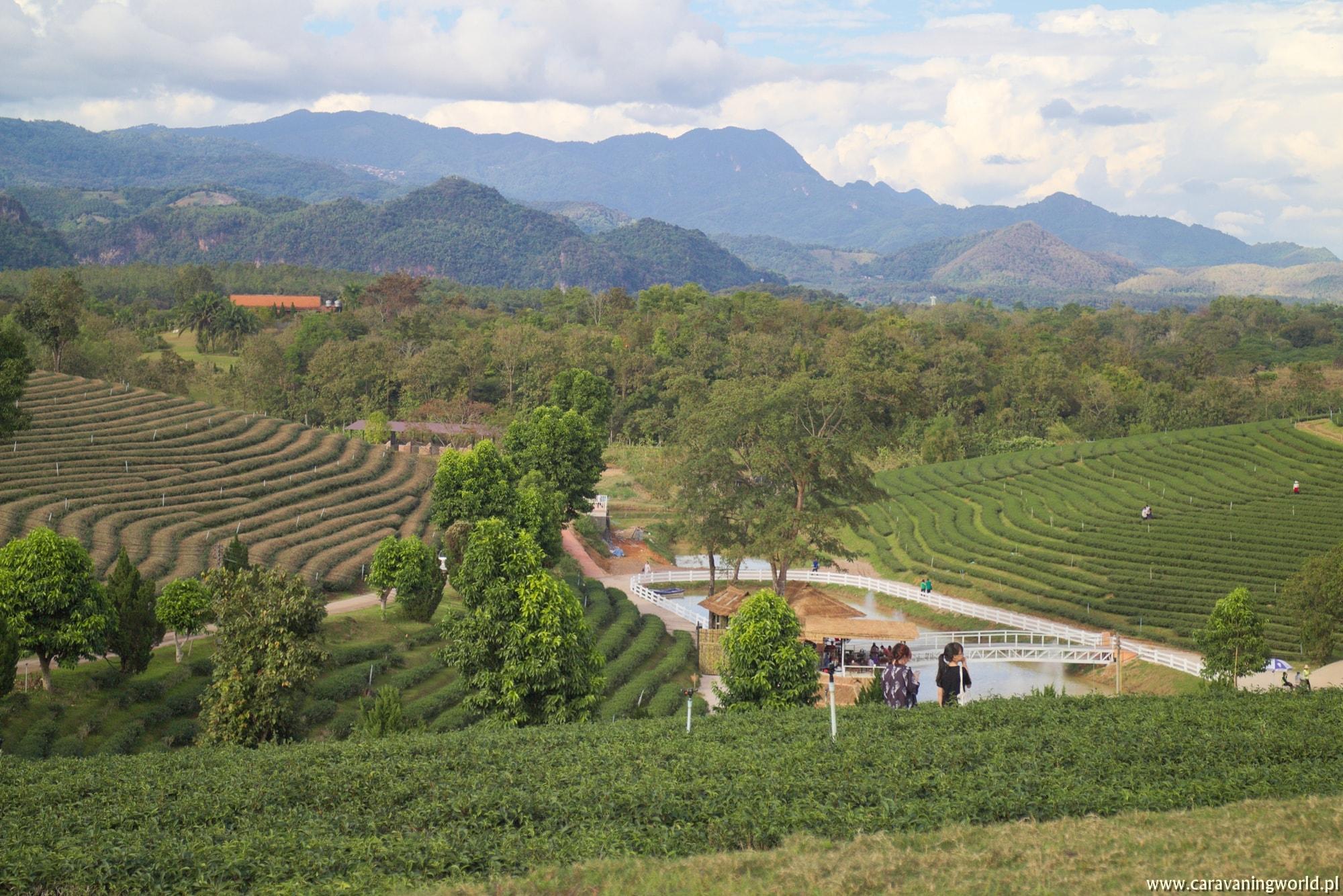 Plantacja herbaty Choui Fong Tea w Maesan