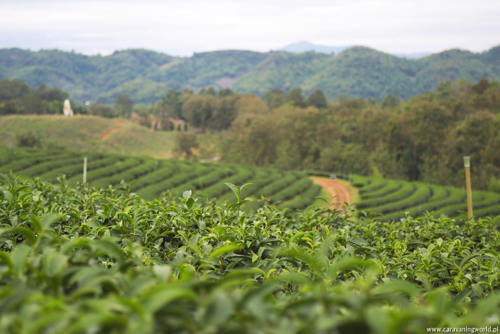 Plantacja herbaty Choui Fong Tea