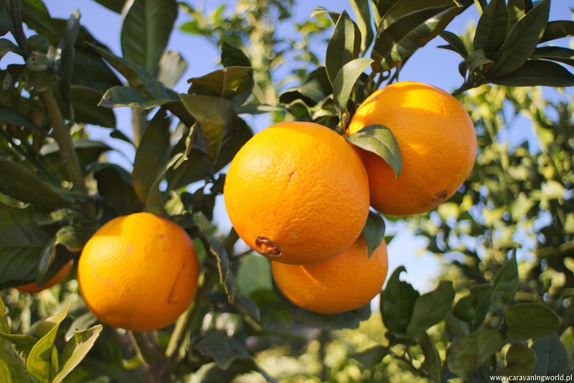 Dojrzałe pomarańcze!