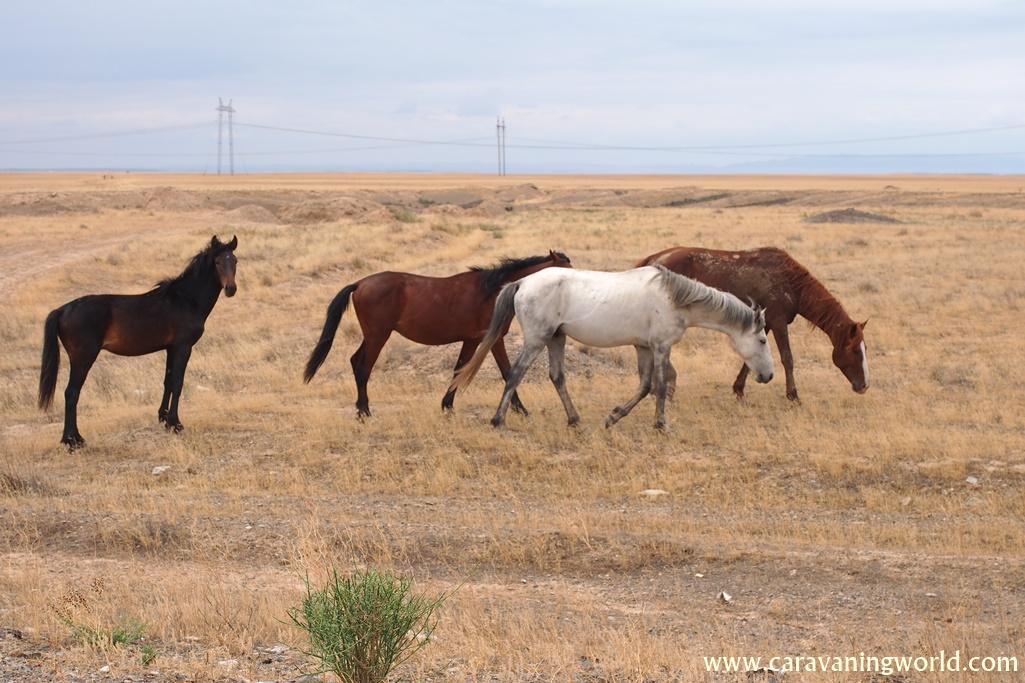 Konie na stepach w Kazachstanie