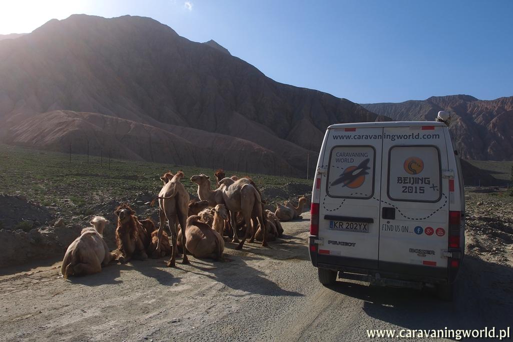 Wielbłądy na drodze to częsty widok podróżując po zachodnich Chinach czy Mongolii