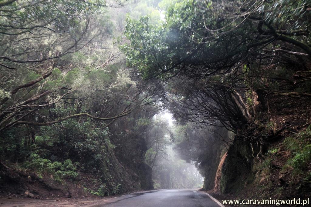 Lasy wawrzynowe masywu Anaga na Teneryfie