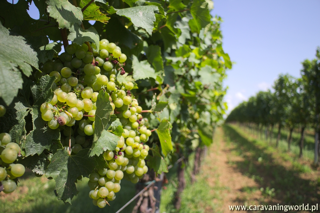 Winnice w okolicach Landau