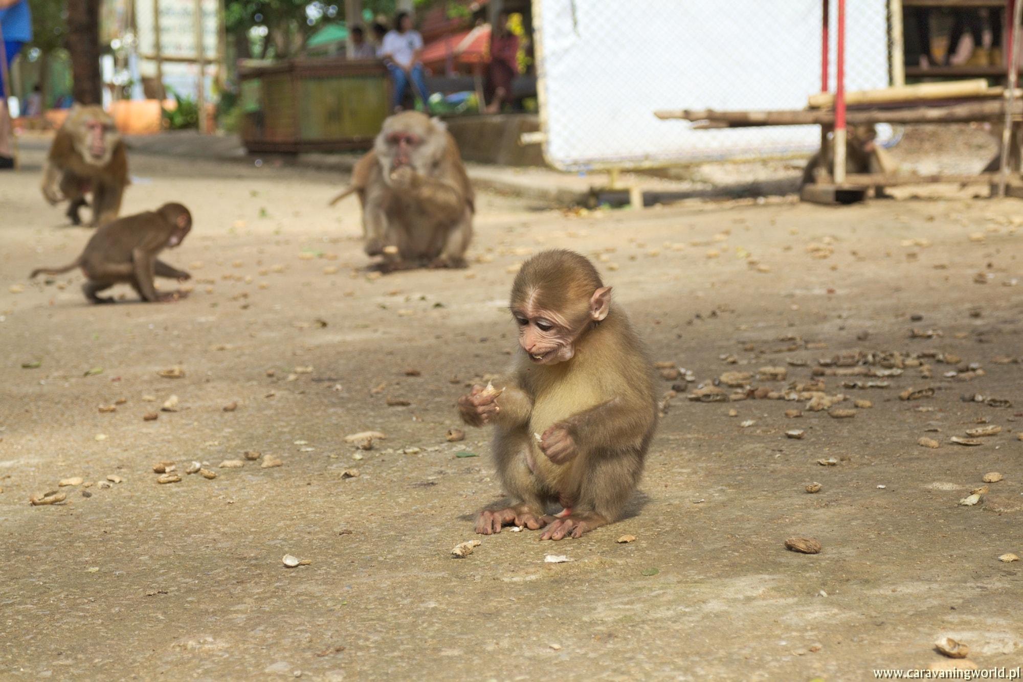 Małpy w Tham Pla Cave