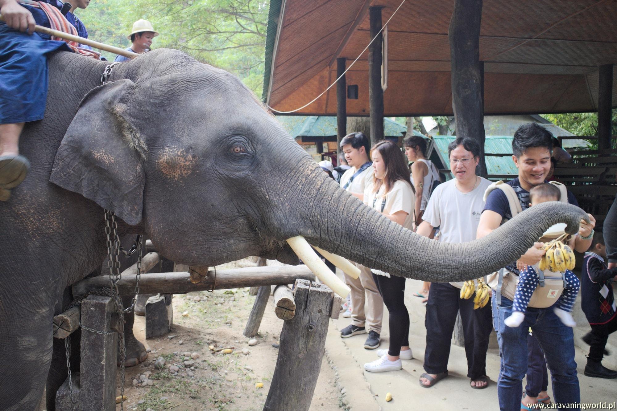 Słonie w Maesa Elephant Camp