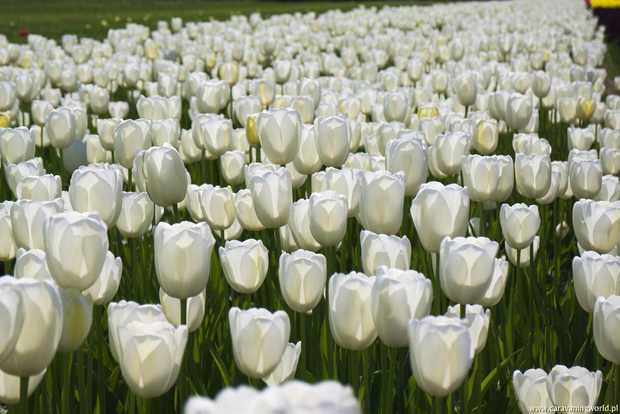 Tulipany przyuważone w okolicach Egmond aan Zee