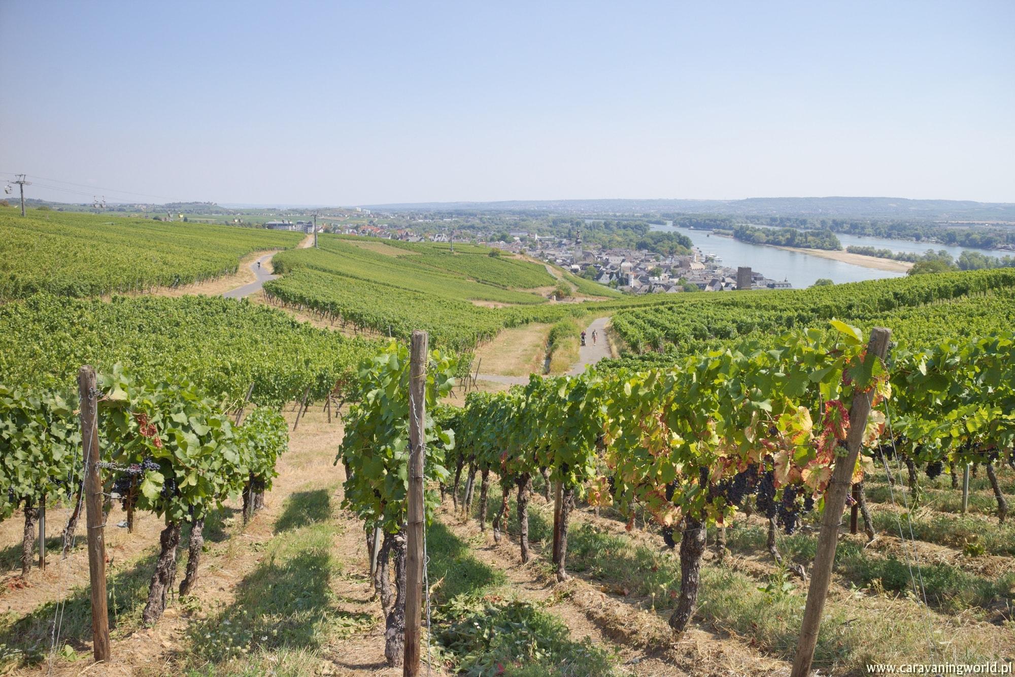 Winnice w Rüdesheim